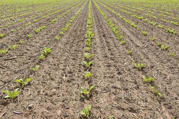 junger Salat wächst auf dem Feld in der Landwirtschaft