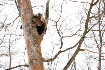 Brown bear in the tree looking down in the forest