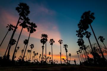 silhouette of sugar palm tree on sunset
