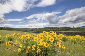 Arrowleaf Balsamroot Wildflowers at Rowena Crest