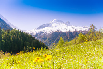 Wall Mural - Valley with yellow dandelions near Mont Blanc