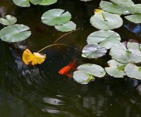 Close-up of a goldfish in a pond, Allan Gardens, Toronto, Ontari