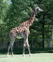 Giraffe (Giraffa camelopardalis) in a forest