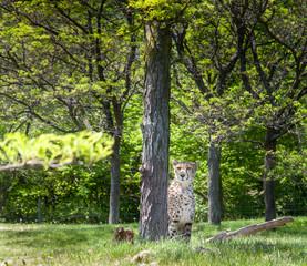 Cheetah (Acinonyx jubatus) in a forest