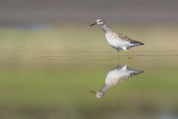 Wood Sandpiper in water