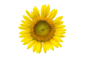 a sunflower isolated