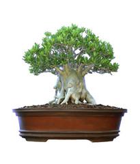 Azalea trees in pots isolated