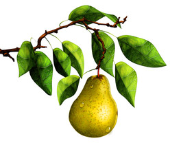 Pear on tree branch, isolated on white background