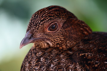 Otragopan Bird