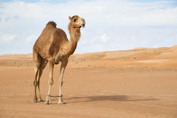 Poster Kameel Image of camel in desert Wahiba Oman