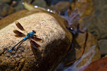 Blue dragonfly on rock in Woobodda Creek, Australia
