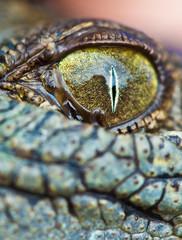 Baby Crocodile Eye