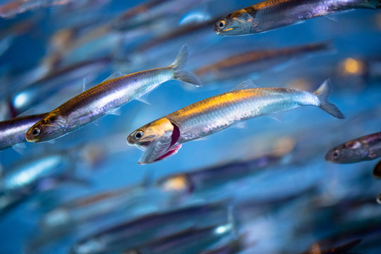 School of Swimming Anchovies