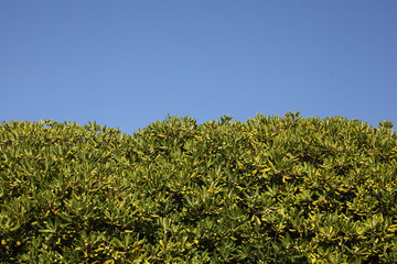 homogeneous floral background of magnolia leaves and sky