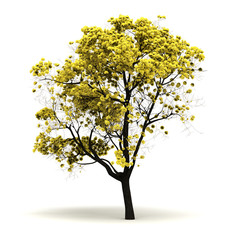 Single Tabebuia Chrysantha Tree