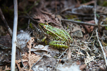 Frog in a forest, Tobermory, Ontario, Canada
