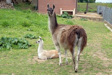 Lama in einem Gehege