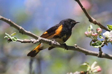 Fototapete - American Redstart Warbler