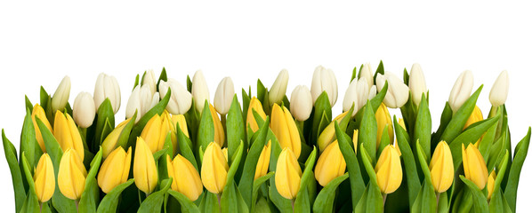 line of isolated yellow and white tulips