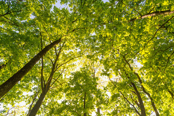 Looking up in a green oak tree forest at evening during spring