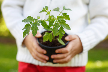 Seedling plant in the hands of a small child