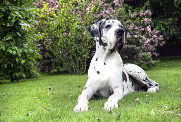 Deutsche Dogge aud grüner Wiese im Garten