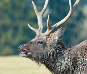 side face portrait of a belling stag
