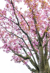 cherries blossom tree
