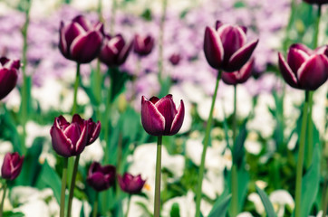 pink tulips and white daisy flower