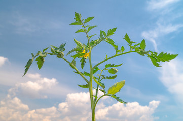 twig of tomato plant flowering in a sunny day
