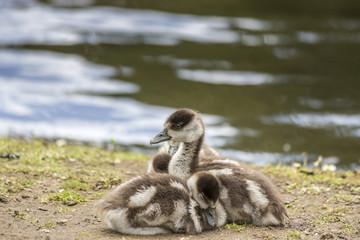 Family of Egyptian goose goslings, Alopochen aegyptiaca