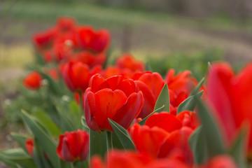 Red spring flowers in a rural garden