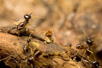 Macro of termites on the forest floor, Borneo, Malaysia