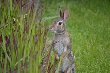 Rabbit investigating the ornamental grass