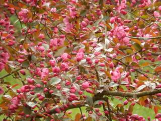 Rot-weisse Kirschblüte
