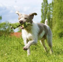 deerhound dog running