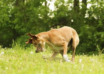 fun pointer puppy running