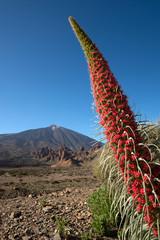 Roter Teide-Natternkopf mit Teide Teneriffa Spanien