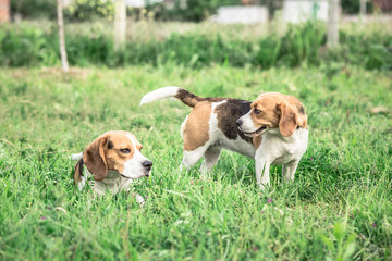 Loving Beagle Dog Couple