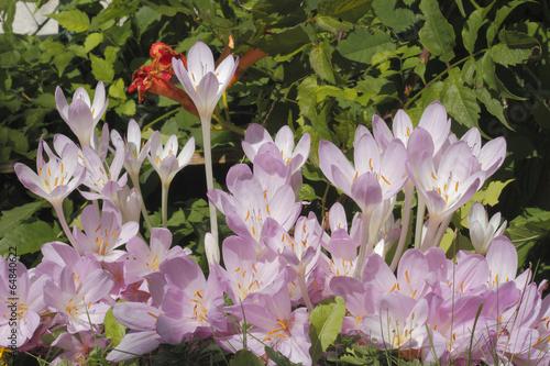 Herbstzeitlosen Colchicum Autumnale Stock Photo And Royalty Free