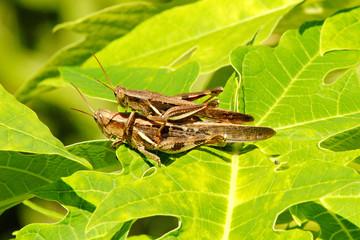 Mating Grasshopper