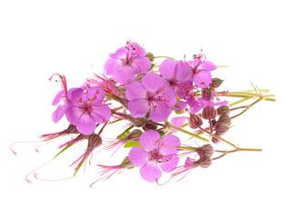 geranium macrorrhizum blossoms ,isolated