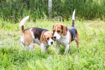 Loving Beagle Dog Couple