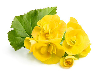 Yellow flowers Begonias with leaf.