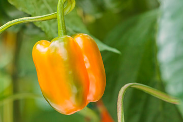 Orange bell pepper in a greenhouse