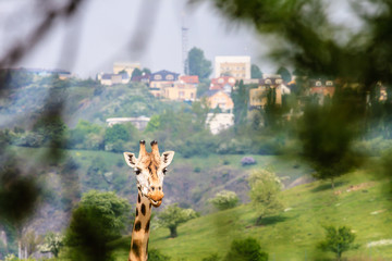 Giraffe Photo with Town on Background
