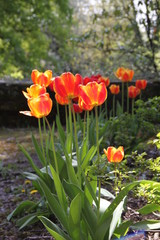 Tulpen der Trauer