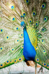 Peacock in chiangmai province Thailand