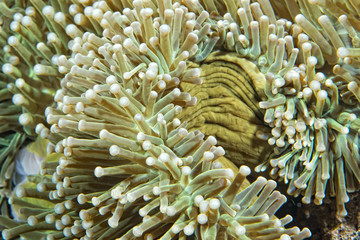 green anemone tentacles detail