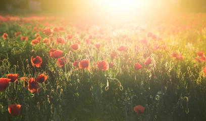 Obraz Field of red poppies in bright evening light - fototapety do salonu